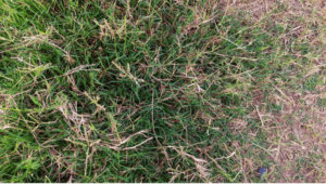 Browning spots on natural grass surface